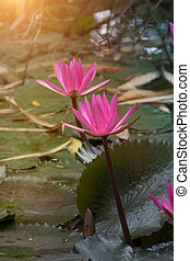Water lily flower.