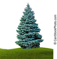 Fir isolated on white background