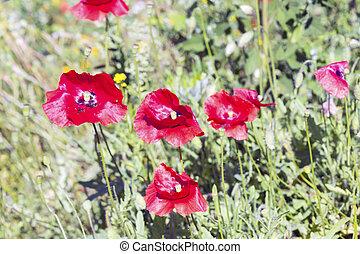 Field of Poppy Flowers - Field of Corn Poppy Flowers Papaver...