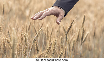 Businessman in a suit touching a ripening ear of wheat