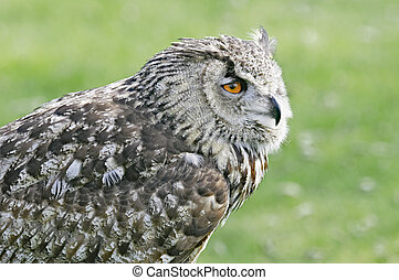 Great Horned Owl - Great horned owl in The Keukenhof, The...