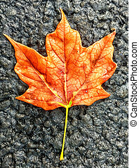Sweetgum - Lone Sweet Gum leaf just hanging out