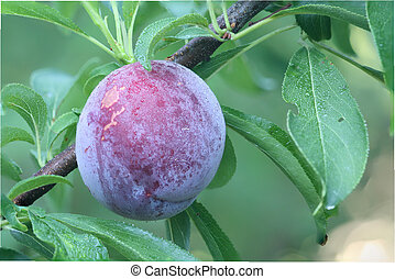 Ripe fruit of a Japanese plum