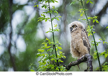 Soggy Owlet - A Great-horned Owlet perched on a branch in a...