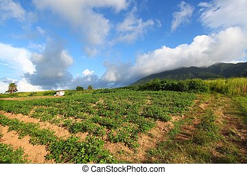 Fields of Saint Kitts - Landscape of the agricultural...