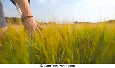 Male hand moving over wheat growing on the field. Meadow of green grain and man's arm touching seed in summer. Guy walking through cereal field. Close up
