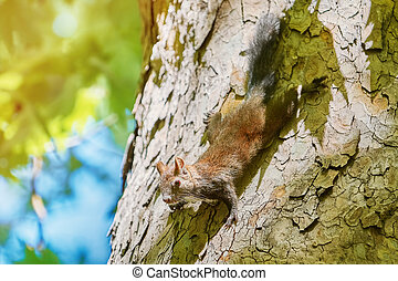 Squirrel on Tree - Squirrel Comes Down by the Trunk of an...