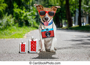 summer vacation dog - jack russell dog ready for summer...