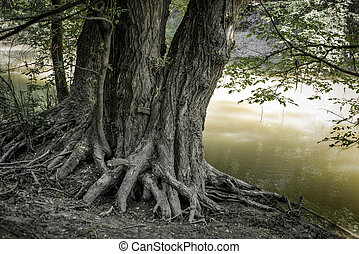 Roots of tree - Large roots of a big tree near river