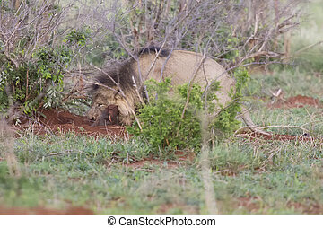 Old male lion digs a warthog from its burrow in nature