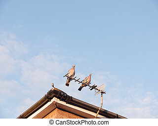 two feral pigeons resting close together on top of a house roof tv aerial