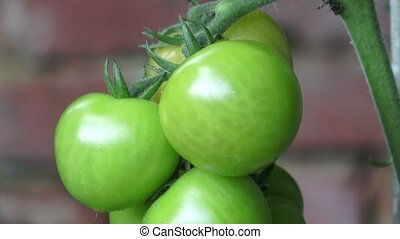 Green tomatoes growing on the branches. It is cultivated in...