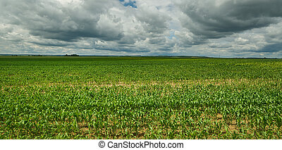 belorussian landscape blue cloudy sky and green corn field