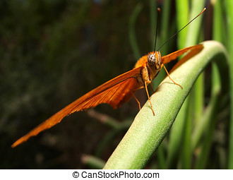 Julia At Rest - An orange butterfly known as a Julia resting...