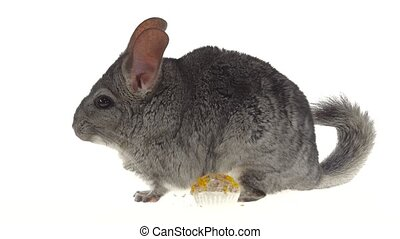 Chinchilla eat treat for rodents from seeds and runs away,...