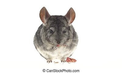 Chinchilla eats special food for rodents from seeds. White...