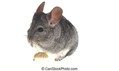 Chinchilla eat treat for rodents from seeds on white...
