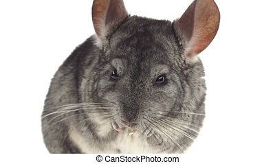 Closeup of gray chinchilla eat tasty pet food. White...