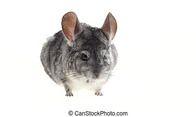 Gray chinchillas listened warily and ran away on white...