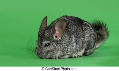 Gray chinchilla washed and licked sideways to camera. Green...