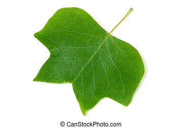 A Tulip poplar leaf or Liriodendron tulipifera isolated on a...