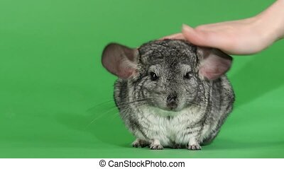 Gray chinchilla, human hand stroking soft wool. Green screen...