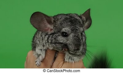 Lovely gray little chinchilla hug with both hands. Green...