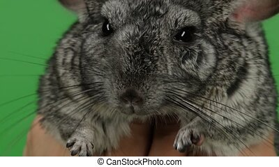 Little gray chinchilla hug with both hands. Green screen,...