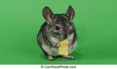 Gray chinchilla eating piece of apple sitting on hind legs,...