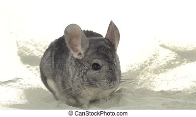 Gray chinchilla is bathed in sand for cleansing fur. Closeup...