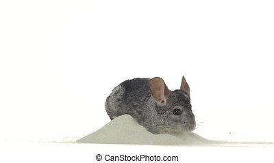 Gray chinchilla is bathed in special sand for cleansing fur,...