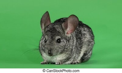 Gray chinchilla washed and licked muzzle to camera. Green...