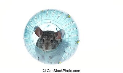 Gray chinchilla sitting in blue ball for walks. White...