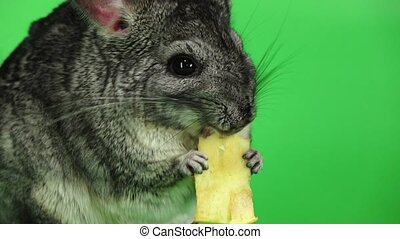 Chinchilla eating piece of apple sitting in slow motion....