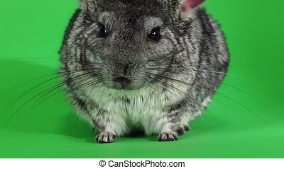Chinchilla posing on camera on green background. Slow...