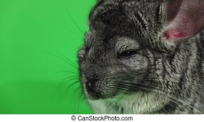 Gray chinchilla sleeps with closed eyes, green screen. Slow...