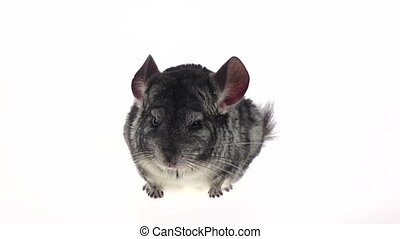 Chinchilla looks around and sniffs something. White...