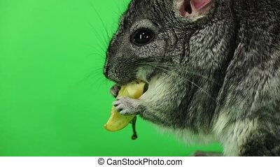 Chinchilla eating piece of apple, sideways to viewer. Slow...