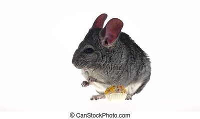 Chinchilla eat for rodents seeds and runs away. Slow motion...