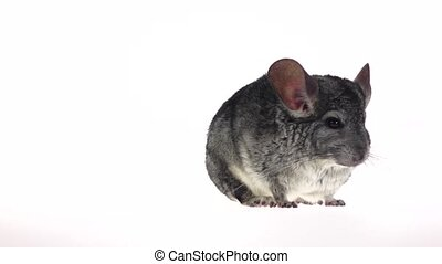 Gray chinchilla frightened runs away from frame in slow...
