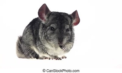 Chinchilla chewing black sunflower seed on white background....