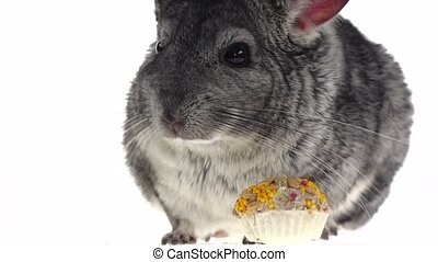 Closeup of chinchilla eat seeds and runs away. Slow motion -...