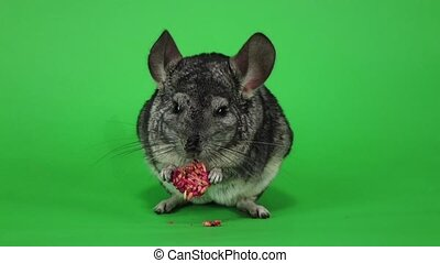 Chinchilla eats food for rodents from seeds in slow motion -...