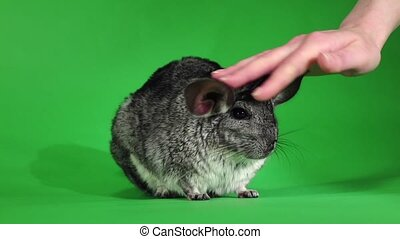 Chinchilla, human hand stroking soft wool. Green screen,...