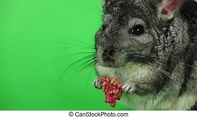 Closeup of chinchilla eats food for rodents in slow motion -...
