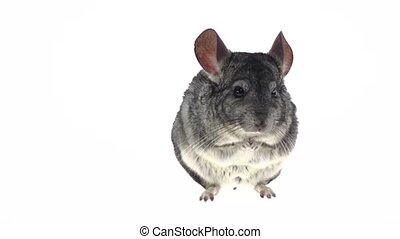 Gray big chinchilla sits on hind legs and chews food, looks...