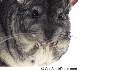 Chinchilla chewing sunflower seed on white background. Slow...