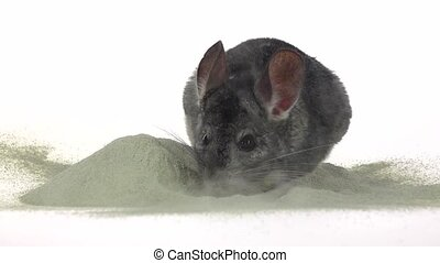 Chinchilla is bathed in sand for cleansing fur, slow motion...