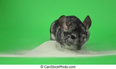Bathing chinchilla in sand for animals. Green background,...