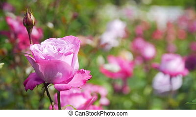 beautiful pink rose in a Sunny weather.